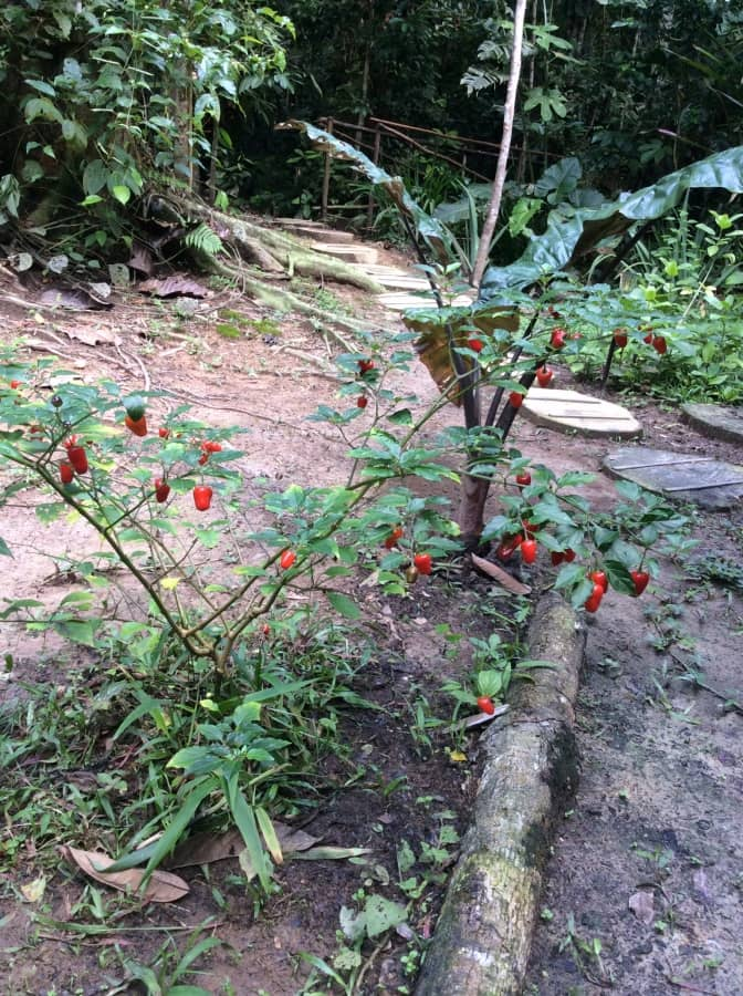 aji peppers tropical rainforest