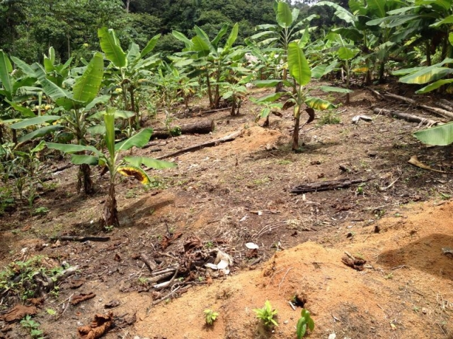 plantain planting at rainforest healing center