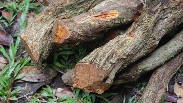 ayahuasca vine closeup