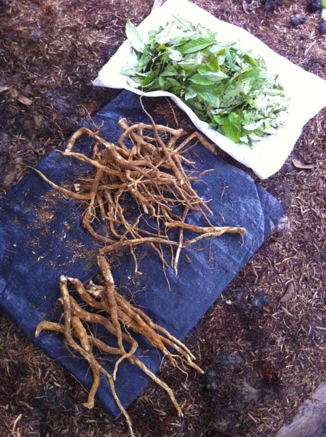uchu sanango mast plant diet roots at Rainforest Healing Center