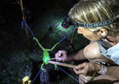 practitioner harvesting kambo medicine